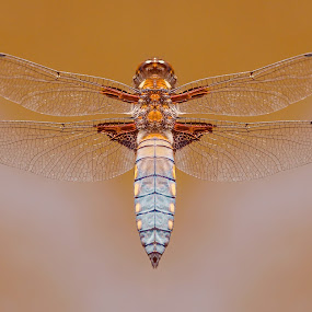 Dragonfly by Anita Meis - Animals Insects & Spiders ( dragonfly, flight, fly, nature, wings, macro photography, insect )