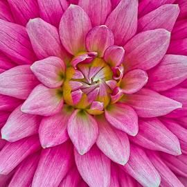 by Jim Jones - Flowers Single Flower ( macro, flowers, dahlia, dahlias, flower )