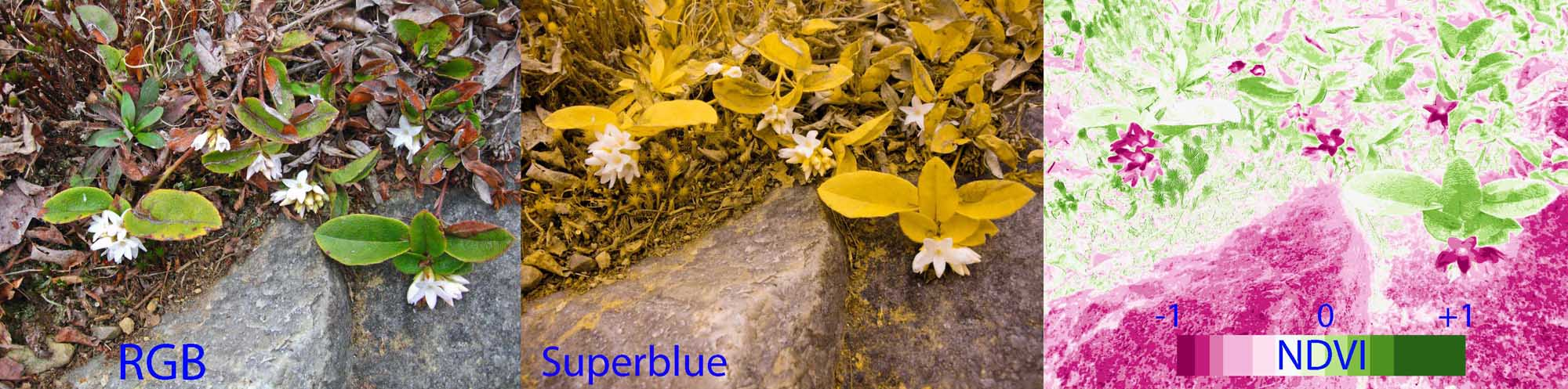 Photo: Normal color photo (RGB), superblue infrared photo (middle), and normalized difference vegetation index (NDVI) image of trailing arbutus. NDVI image was derived from two color channels in the single superblue photo which was taken with a camera modified with a special infrared filter. Healthy plants typically have NDVI values between 0.1 and 0.9. Note that flowers and rocks have very low NDVI values because they are not photosynthetic.