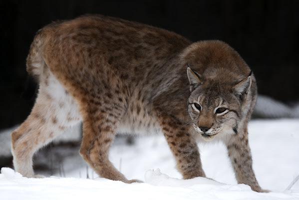 Lynx di marcovp