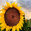 Sunflower Wallpapers New Tab