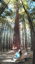 Photo: Also in Rotorua, a grove of California redwoods. This was apparently planted when the forest industry was trying out a few types of imported trees.  I guess they forgot to cut them down.