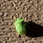 southern green stink bug