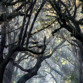 Foggy Rays by Bonnie Davidson - Landscapes Forests ( photograph, green, botany bay, moss, white, forest, road, landscape, south carolina, fog, blue, trees, brown, dirt, branches, mist,  )