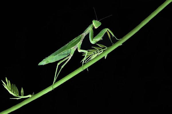 La vedova verde  di BASTET-Clara