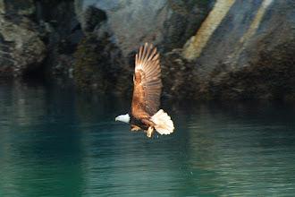 Photo: Bald eagle fishing