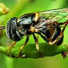 Australasian Hoverfly