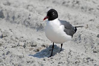 Photo: Laughing Gull (Larus atricilla)