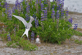 Photo: Arctic tern feeding its chick near Mendenhall glacier