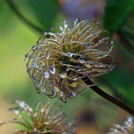 clematis seeds by LADOCKi Elvira - Nature Up Close Other plants