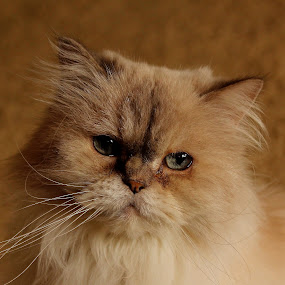 Fluffy's Face by Freda Nichols - Animals - Cats Portraits ( cat, fluffy, persian, furry, white, blue eyes, grey, gray )