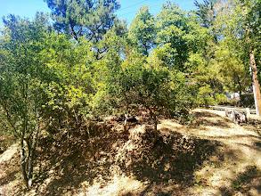 Photo: A young oak woodland.