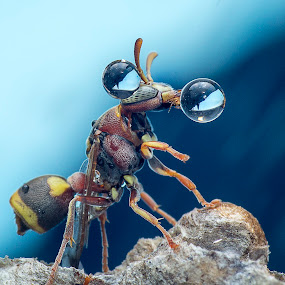 Wasp 150903A by Carrot Lim - Animals Insects & Spiders ( macro, wasp, insect )