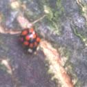 Ten-Spotted ladybug