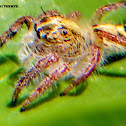 Giant Jumping Spider juvenile
