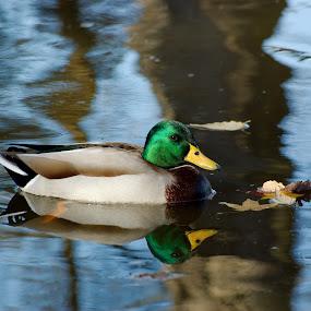 Mallard by Brian Lord - Animals Birds ( animals, mallard, nature, duck, birds )