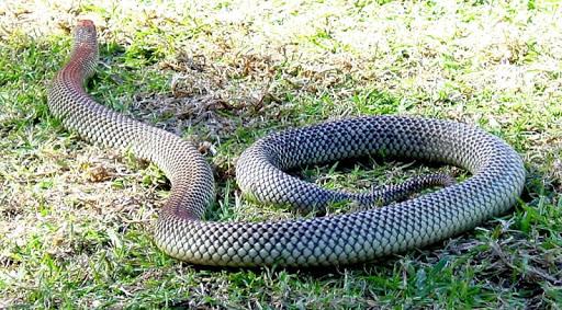 Taipan Snake Wallpapers FREE