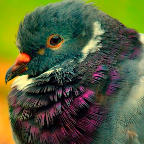 Close up of a pigeon by Francois Wolfaardt - Animals Birds ( bird, pigeon, macro, purple, nature, green, eye, colours,  )