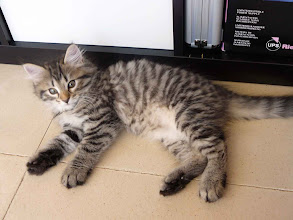 Photo: Quenzo (black tabby tigre) - 2 meses