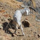 Feral Goats (with newborn kid)