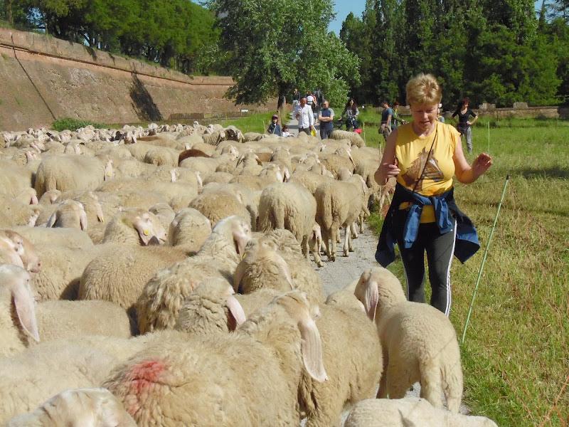 Aiuto..devo attraversare un mare di pecore di joysphoto