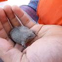 Sapo excavador/ Digger toad