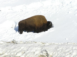 Photo: Bison Feasting under the snow