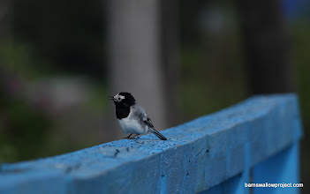 Photo: A hyrid masked/white wagtail sings on the bridge railing