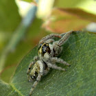 Macaroeris sub adult spider (♂)