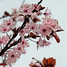 Spring blossom by Karen Noble - Flowers Tree Blossoms (  )