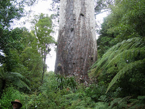 Photo: Tane Mahuta Lord of the forest