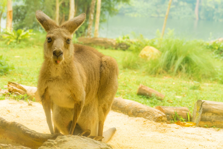 シンガポール動物園 カンガルー or ワラビー