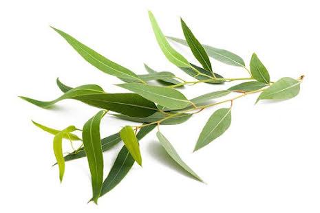 Citroneukalyptus - ekologisk eterisk olja