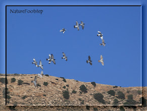 Photo: Tamduva - Columba livia - Feral Pigeon NF Photo 121111 Cap Ghir, Morocco http://nfmoroccobirds.blogspot.se/2013/02/tamduva-columba-livia-feral-pigeon.html