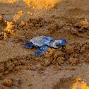 Loggerhead sea turtle (Χελώνα καρέττα)