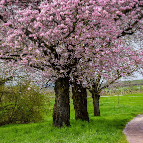 cherry dreams by Ira Mdt - Flowers Tree Blossoms ( #cherry trees #blossom #spring #full blossom )