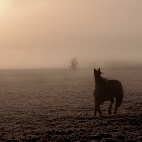 Freedom in the morning by Chris De Smet - Animals Horses