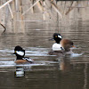 Hooded Merganser Ducks (Male and Female)