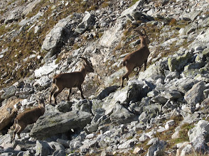 "Photo: Ibex are called ""steinbock in German and ""bouqetin"" in French. These have short horns, thus are female."