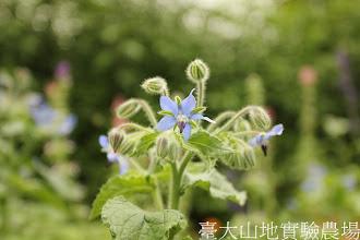 Photo: 拍攝地點: 梅峰-溫帶花卉區 拍攝植物: 琉璃苣 拍攝日期:2012_08_30_FY