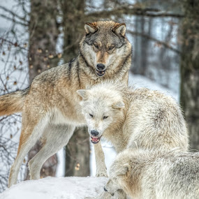 Gray Wolves by Peter Stratmoen - Animals Other Mammals ( ely minnesota, gray wolf, wolf, wolves, international wolf center,  )