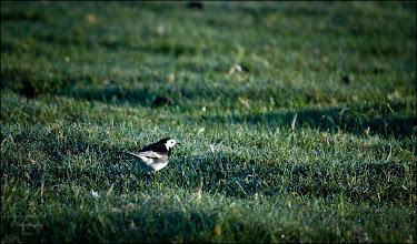 Photo: Bird N°18 - Pied Wagtail Latin: Motacilla alba yarrelli