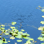 Caribbean Water Snake