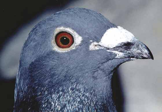 """The appearance of the head of a """"modern"""" male racing pigeon, is a result of selective breeding"""