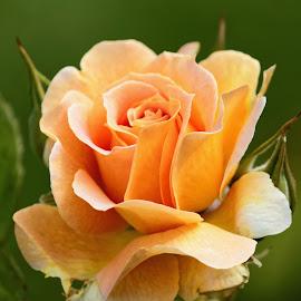 Flower 5133 by Raphael RaCcoon - Flowers Single Flower