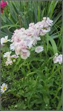 Photo: Garofițe de gradina   (Dianthus barbatus) - de pe Calea Victoriei, Nr.17,19 - 2017.06.04