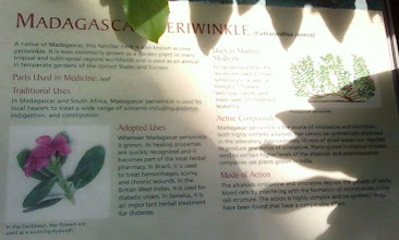Photo: The plaque for the Madagascar Periwinkle. (I liked the name.)
