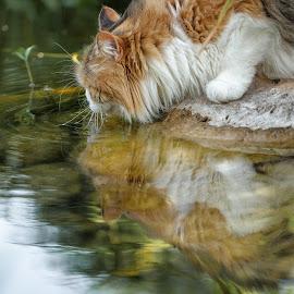 Reflection by Thomas Berwein - Animals - Cats Portraits