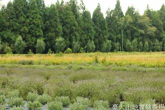 Photo: 拍攝地點: 梅峰-一平臺 拍攝植物: 薰衣草(前) 水仙百合(後) 拍攝日期: 2014_07_04_FY