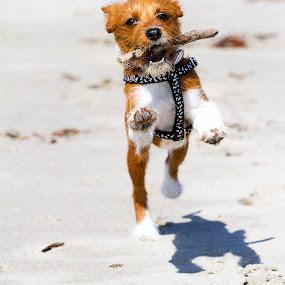 Fetch boy! by Brandon Chapman - Animals - Dogs Playing ( playing, fetch, sand, jack russell, stick, santa barbara, socks, puppy, beach, cute, running, dog, mutt, pet, #GARYFONGPETS, #SHOWUSYOURPETS )